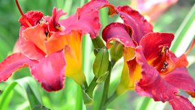 Red terry daylily flower in flowerbed. Red terry daylily flower in the flowerbed stock video