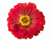 Red terry flower isolated on white background Stock Images