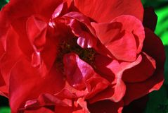 Red terry rose flower blooming on bush, dark green leaves background, top view close up macro. Detail royalty free stock photo