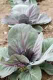 Red tete noir cabbage Stock Images
