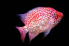 Red texas cichlid Stock Images