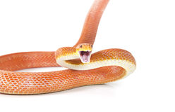 Red Texas rat snake attacking Stock Photography