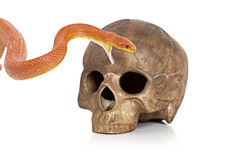 Red Texas rat snake with skull. Red Texas rat snake with human skull on white Royalty Free Stock Photo