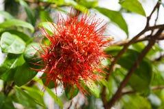 Red Thai powderpuff flowers Royalty Free Stock Image
