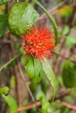 Red Thai powderpuff flowers Royalty Free Stock Photo