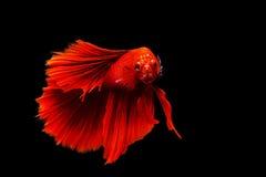 red thai siamese betta fighting fish Stock Photography