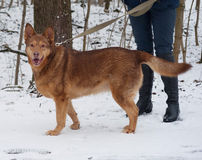 Red thick mongrel dog standing on snow Stock Photo
