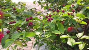 Red Thin Flowers or Calliandra Haematocephala Tree Slow Motion Footage stock video footage