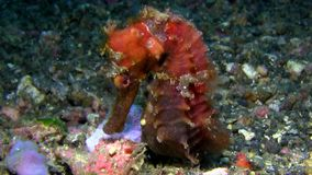 Red Thorny seahorse Hippocampus histrix on the sand in Lembeh strait. Indonesia stock footage