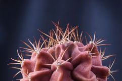 Red thorny skin like cactus plant against dark background. Selective focus Royalty Free Stock Photos