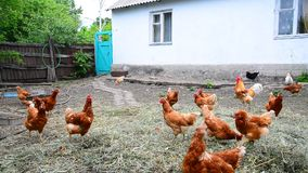 Red thoroughbred chickens in courtyard of rural house in Russia stock footage