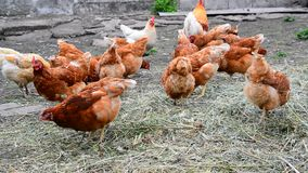 Red thoroughbred chickens pecking dry grass stock footage
