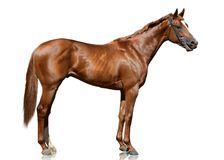 The red thoroughbred racehorse standing isolated on white background. Side view Royalty Free Stock Photos