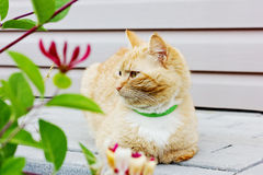 Red thoughtful cat Royalty Free Stock Image