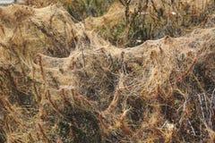 Red thread fungus Laetisaria fuciformis Royalty Free Stock Images