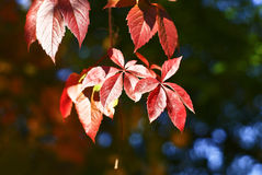 Red three leaves Stock Photography