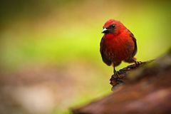 Red-throated Ant-Tanager, Habia Fuscicauda, Red Tropic Song Bird In The Nature Habitat, San Ignacio, Belize Royalty Free Stock Photos