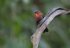 Red-throated Ant-Tanager, Male Habia fuscicauda Royalty Free Stock Photography