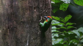 Red-throated Barbet Megalaima mystacophonos birds drilling holes stock video footage