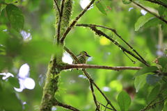 Red-throated barbet Royalty Free Stock Photography