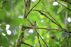 Red-throated barbet Royalty Free Stock Images