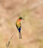 Red-throated Bee-eater in Senegal Royalty Free Stock Image