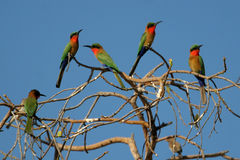 Red-throated bee-eaters Stock Images