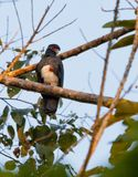 The Red-throated Caracara Royalty Free Stock Photos