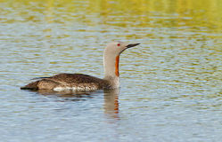 Red throated diver Royalty Free Stock Images