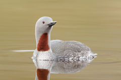 Red-throated diver Royalty Free Stock Photos