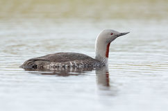 Red-throated diver Stock Images