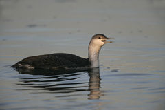 Red-throated diver, Gavia stellata Stock Photos
