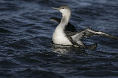 Red-throated diver, Gavia stellata Royalty Free Stock Photography