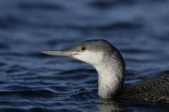 Red-throated diver, Gavia stellata Stock Photo