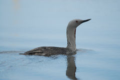Red-throated Diver Gavia stellata in south of Iceland Stock Photography