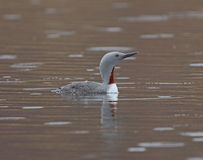 Red throated Diver (Red throated Loon) Stock Images