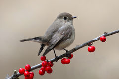 Red throated Flycatcher Royalty Free Stock Photography