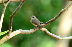 Red-throated flycatcher Stock Photos