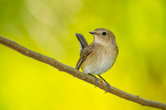 Red-throated Flycatcher Stock Image