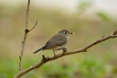Red-throated flycatcher Stock Photography