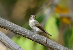 Red-throated flycatcher Royalty Free Stock Photography