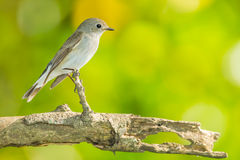 Red-throated Flycatcher Stock Photo