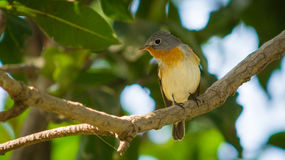 Small red bird in green background Stock Photography