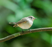 Red-throated Flycatcher female Royalty Free Stock Photography