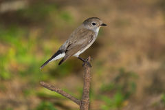 Red Throated Flycatcher Stock Images