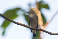 Red Throated Flycatcher Royalty Free Stock Image