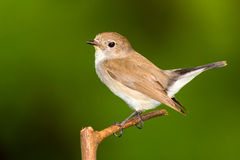 Red Throated Flycatcher Stock Photos