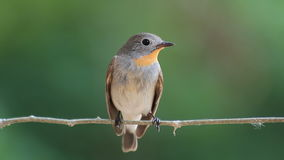 Red-throated Flycatcher (Ficedula albicilla) are worm-eaten food in the wild stock footage
