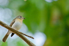 Red throated flycatcher. Single bird is sitting on the branch tree Stock Photography