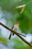 Red throated flycatcher. Single bird is sitting on the branch tree Stock Photos